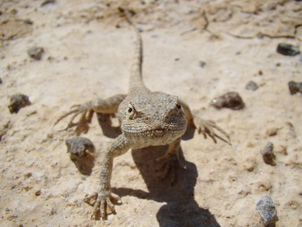 степная ящерица фото