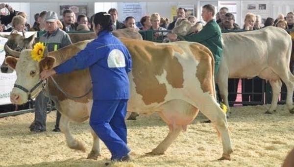 Сычевская порода коров: отзывы