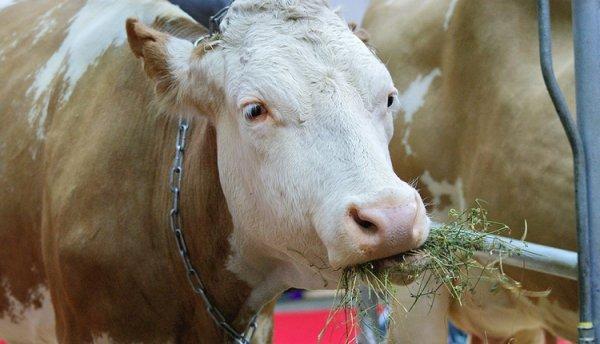 Сычевская порода коров: фото и описание