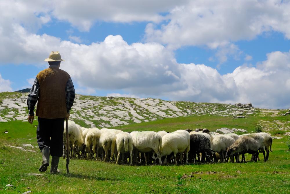 пастух и стадо