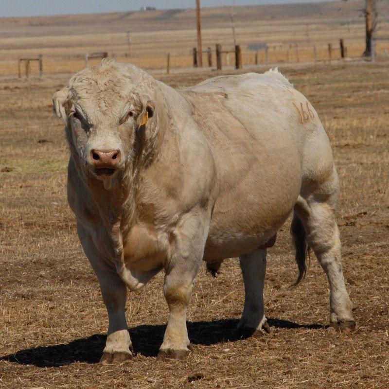 Крупный бык