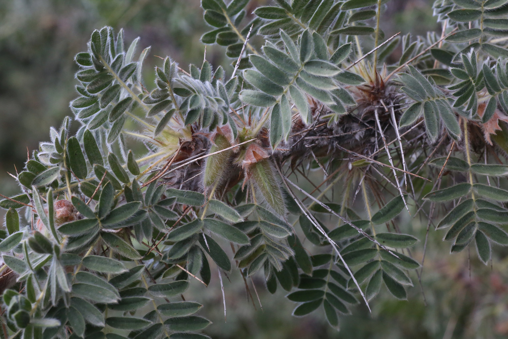 Карагана гривастая - верблюжий хвост