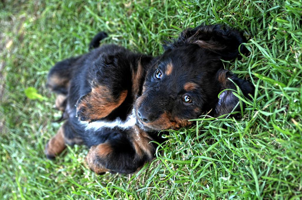 токсокароз у собак