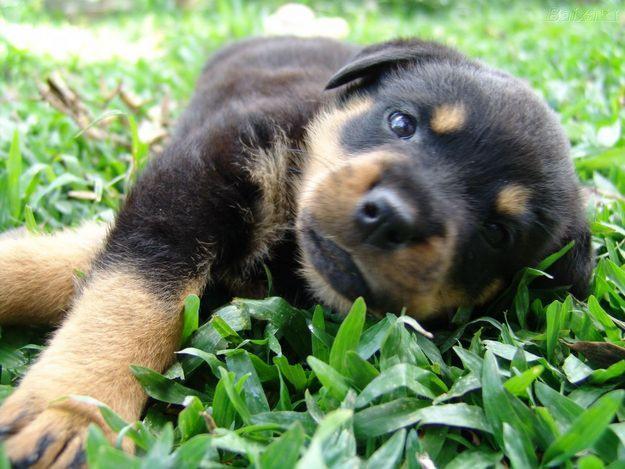 как лечить токсокароз у собак