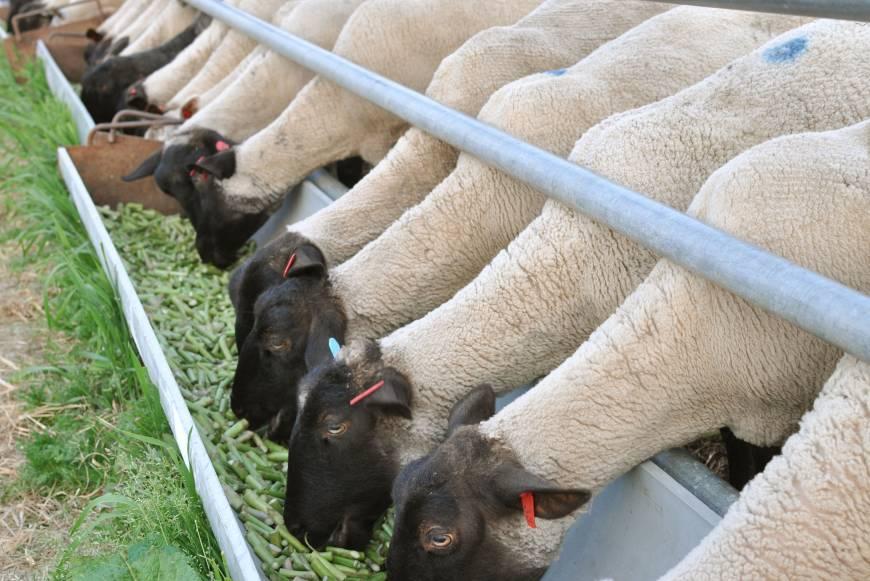 как выбрать корм для овец