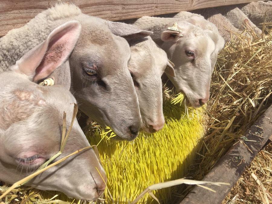 сухой корм для овец