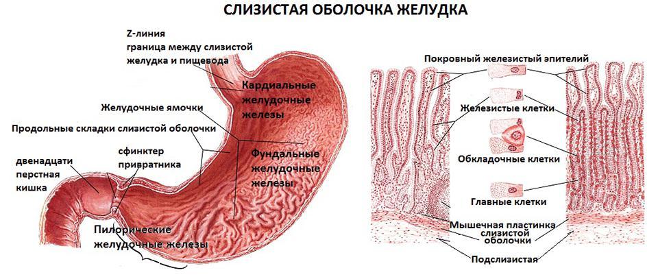 желудок наиболее широкая часть
