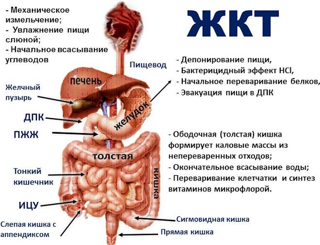 нижняя часть желудка