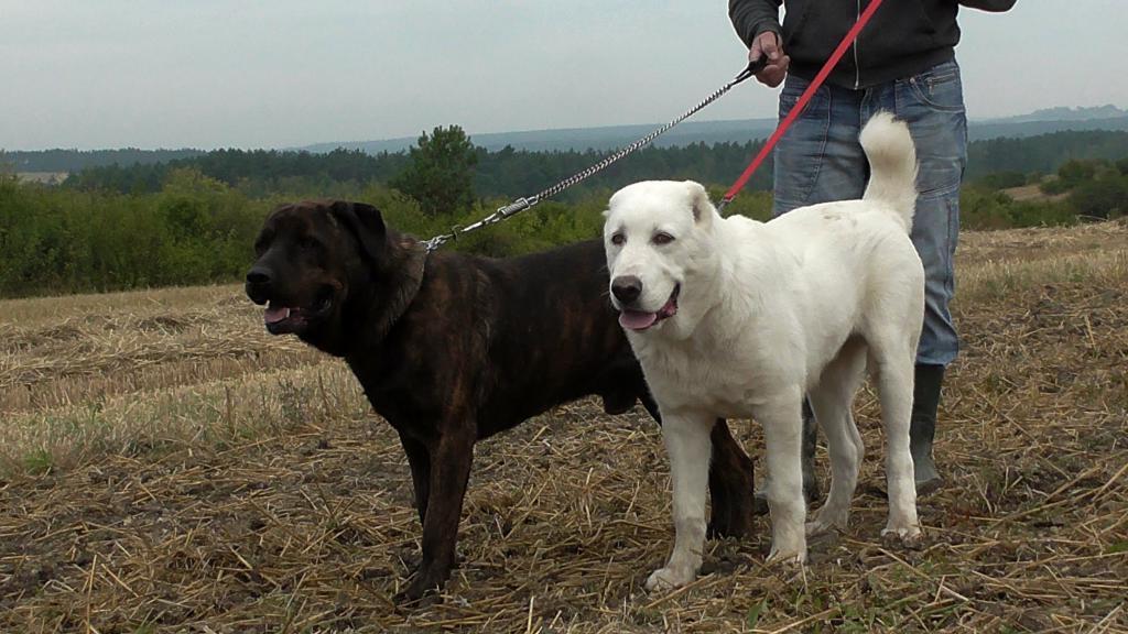 Черный и белый алабаи