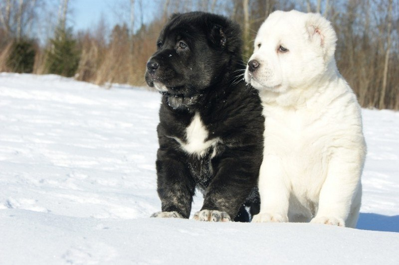 Черный и белый щенки алабаи