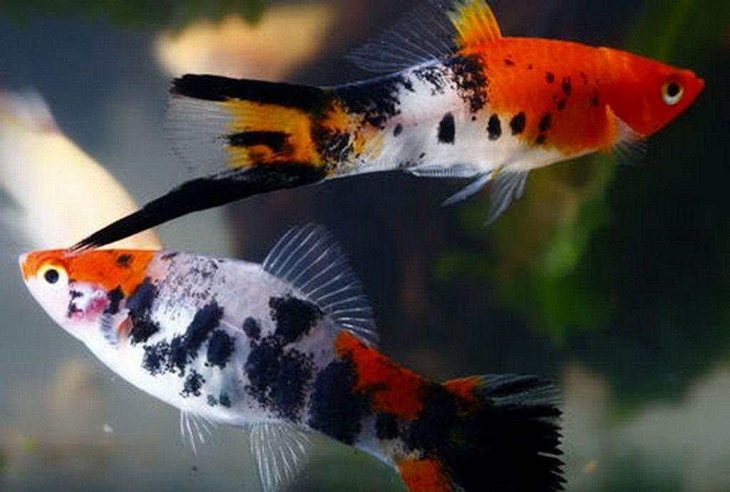 Рыбы меченосцы