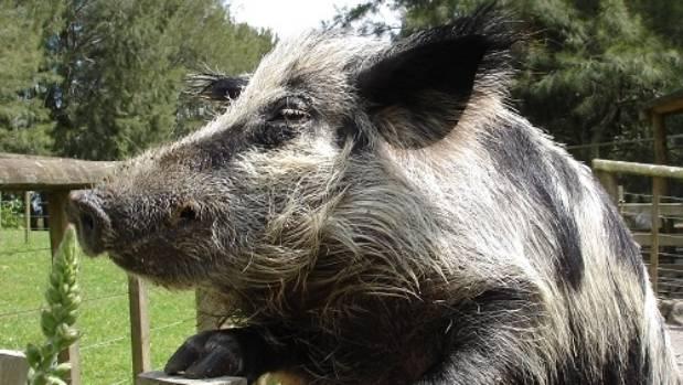 Свиньи мясо-сальных пород
