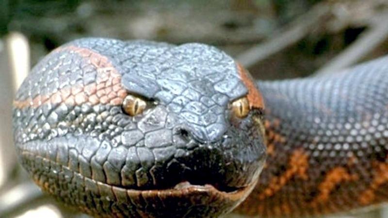 к чему снится большая змея анаконда