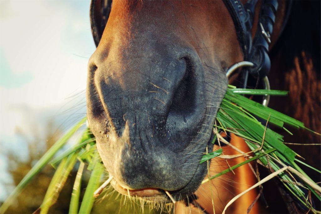 Лошадь жует траву