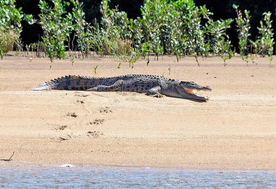 длина большого крокодила