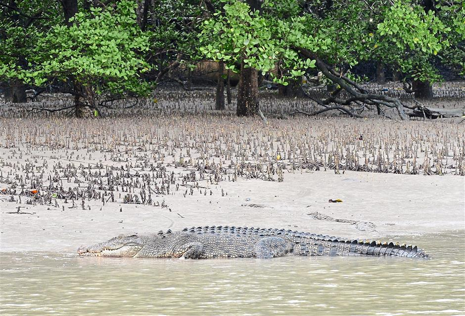 длина гребнистого крокодила