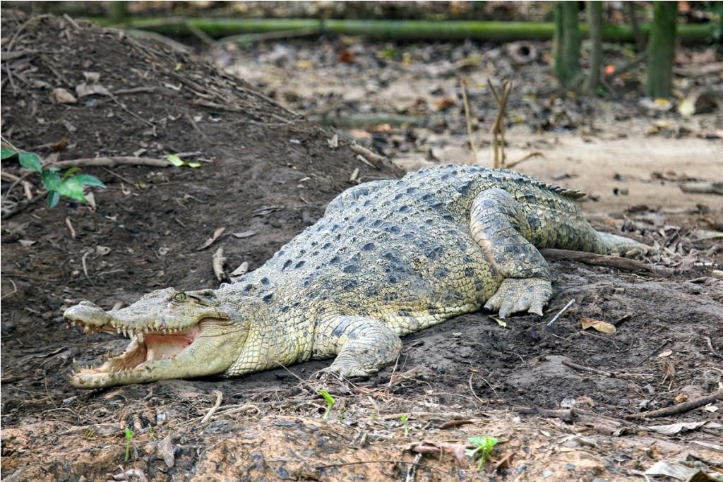 гребнистый крокодил имеет длину 7 метров