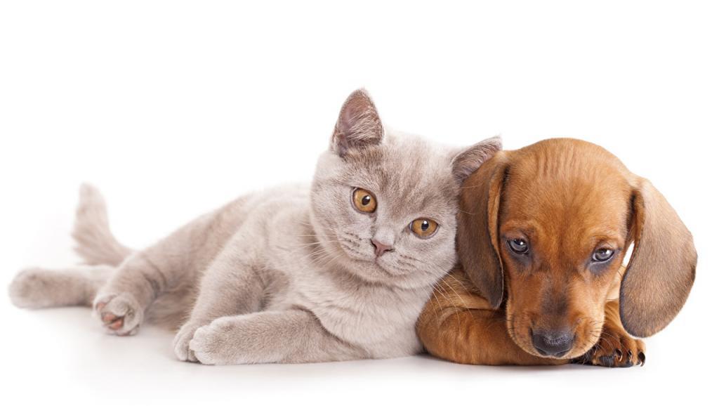 Взрослая кошка и щенок таксы