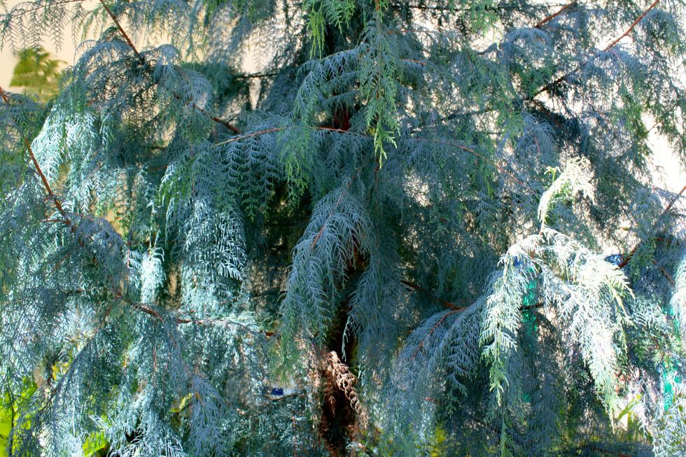 Кашмирский кипарис