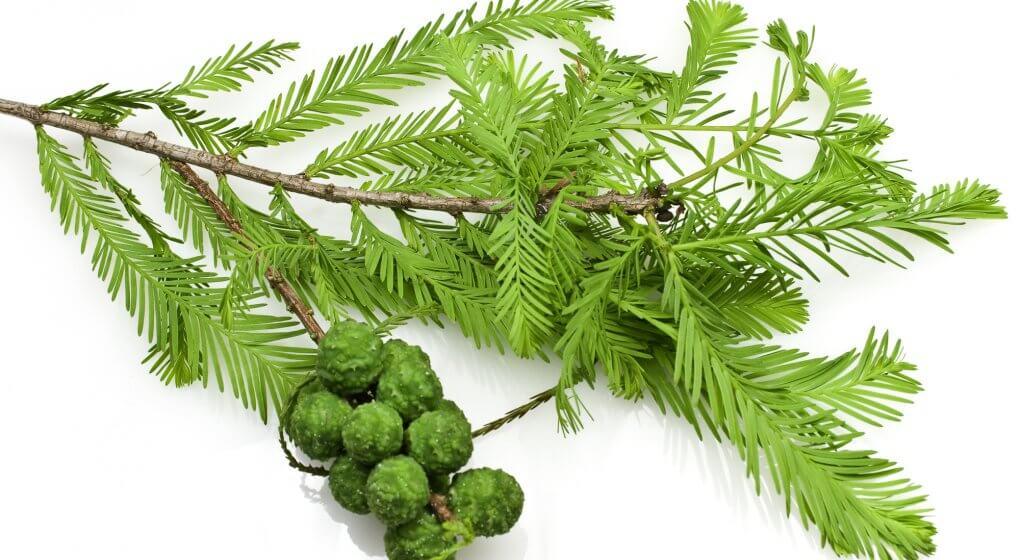 Зеленые плоды для настоев и отваров