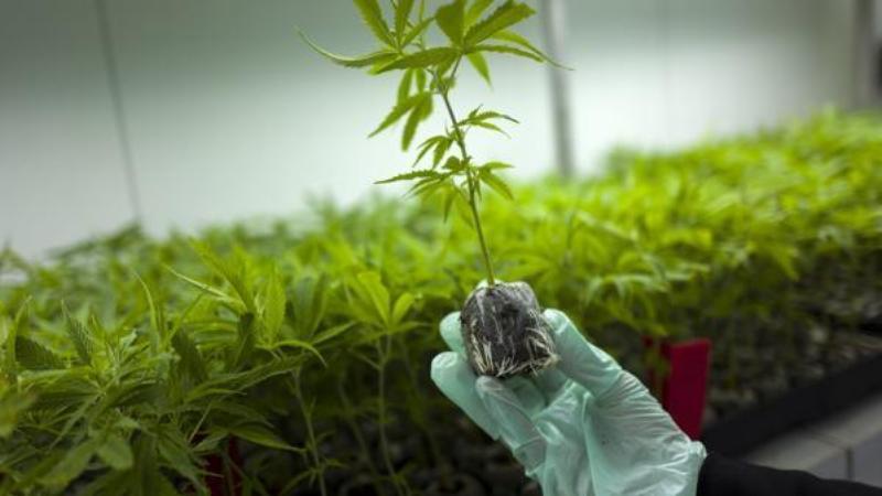 Культивация марихуаны