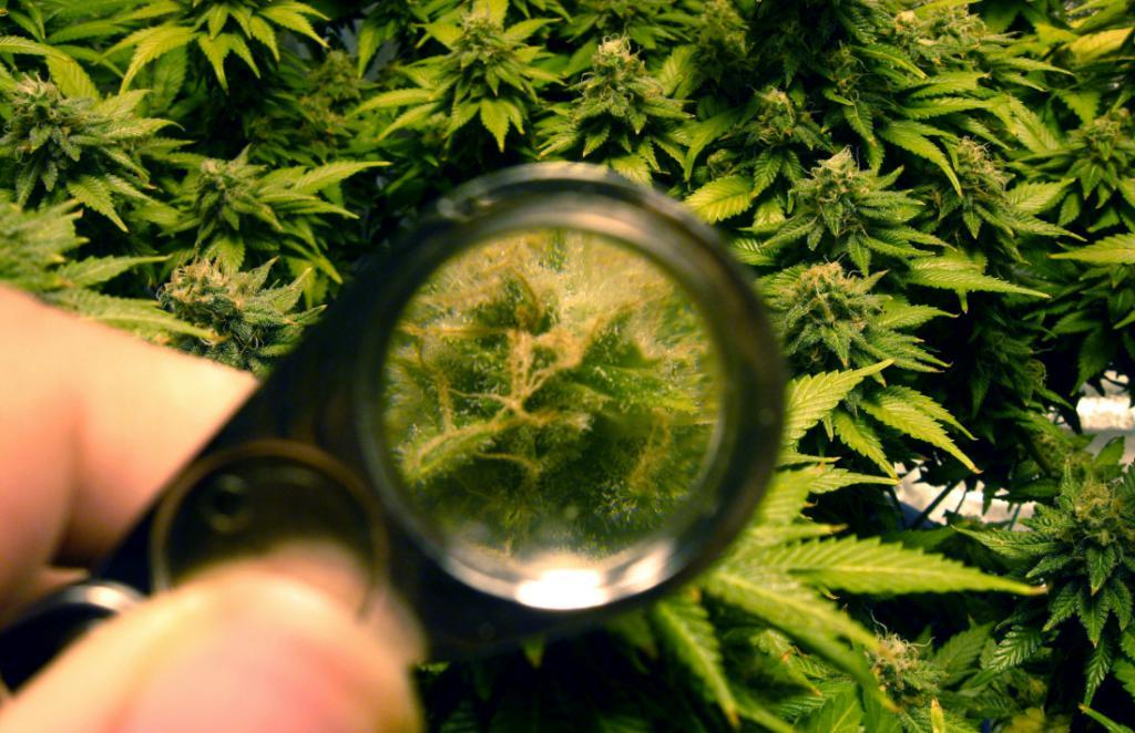 Исследования марихуаны и конопли