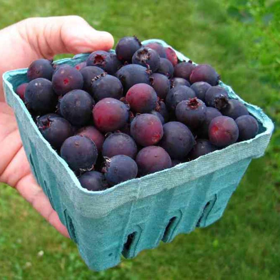 Полезные ягоды ирги