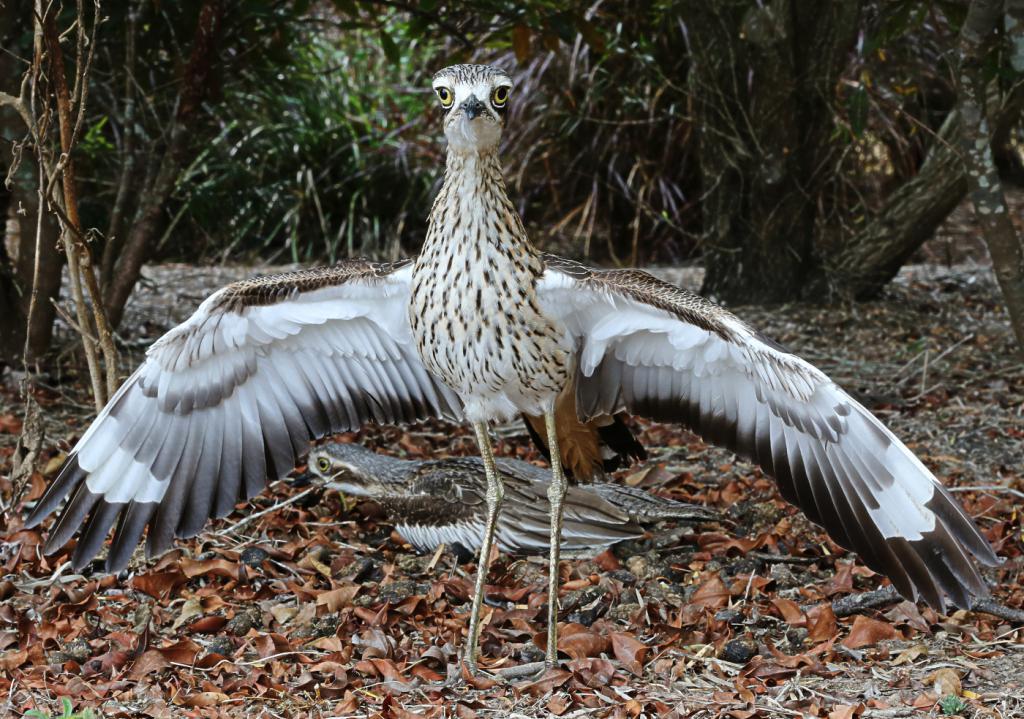 крылья авдотки