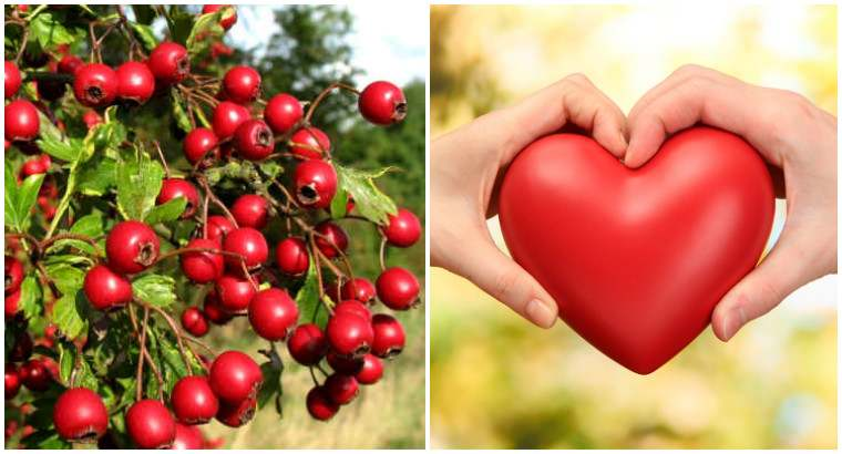Боярышник для укрепления сердца