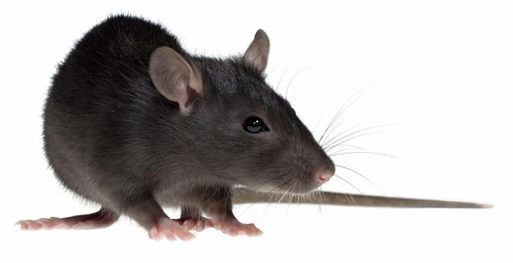 к чему снится ловить крысу во сне