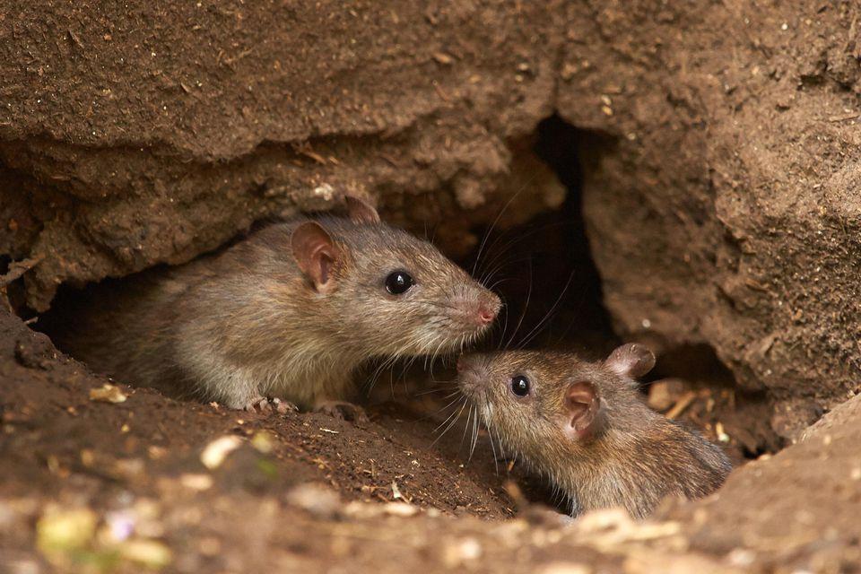 сон кошка ловит крысу