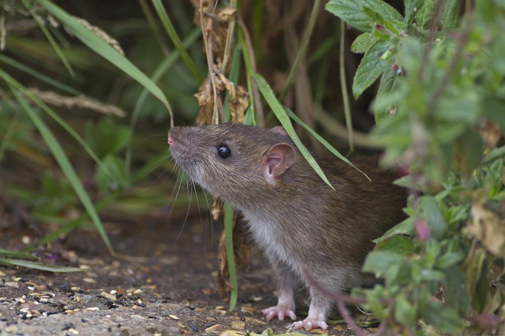 сон кот ловит крысу