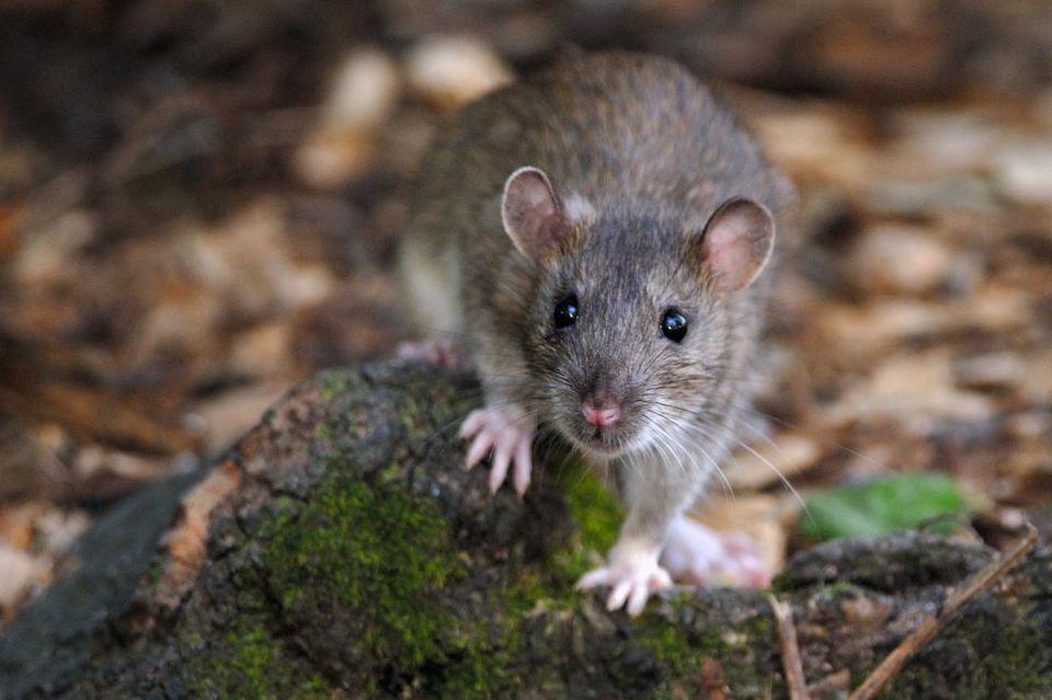 ловить крыс во сне руками к чему