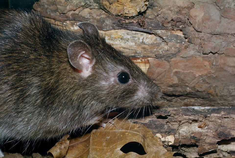 ловить и убивать крыс во сне