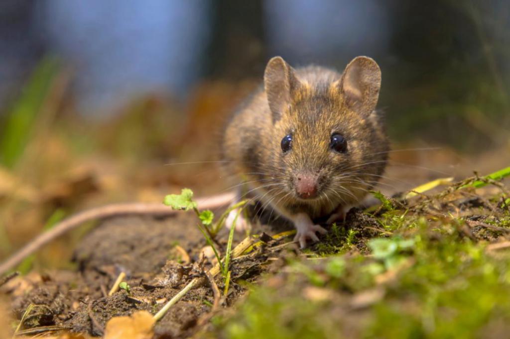 сонник ловить крысу во сне