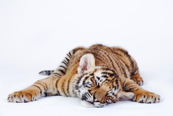 совместимость тигра и свиньи женщины