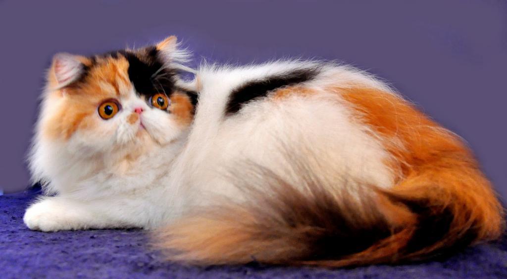 порода самого милого кота в мире