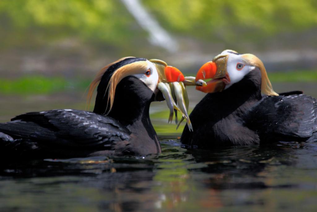 птицы топорики за едой