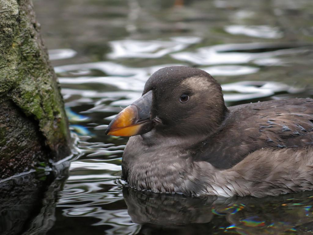 зимнее оперение птицы топорика