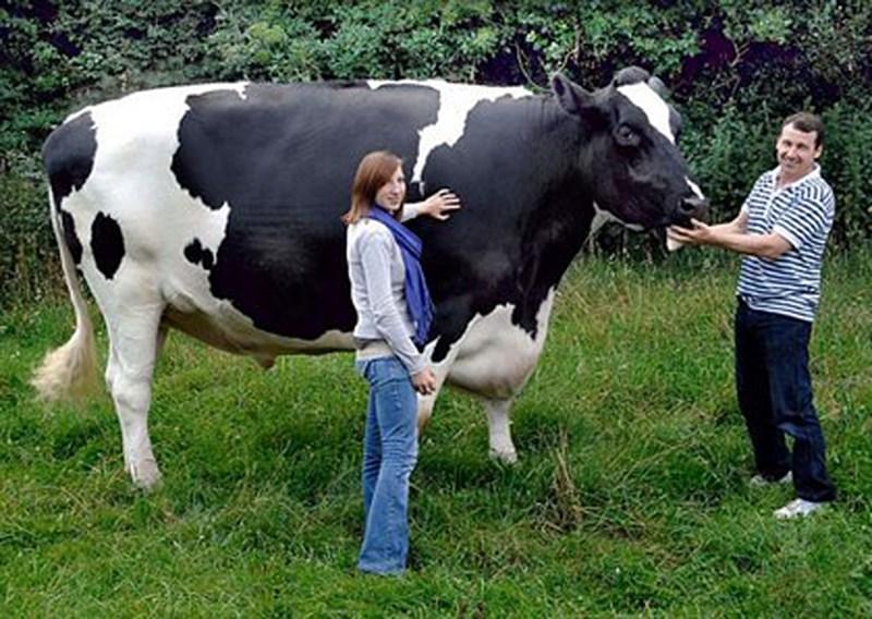 Самый большой в мире бык