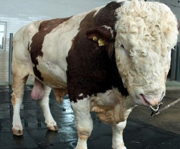 Самый большой бык Репп