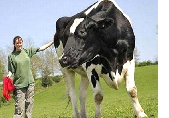 Самые большие коровы