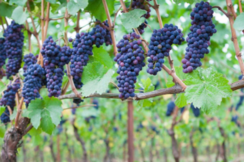 Вэлиант виноград