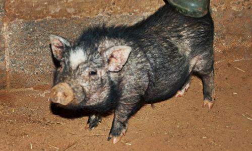 Опасность свиной чесотки