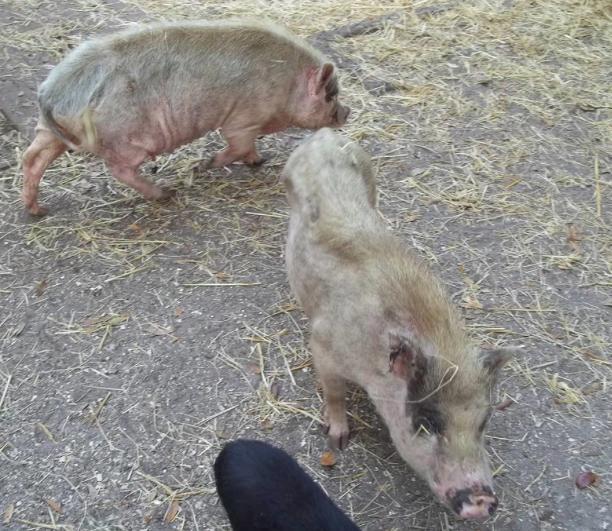 Истощение свиней
