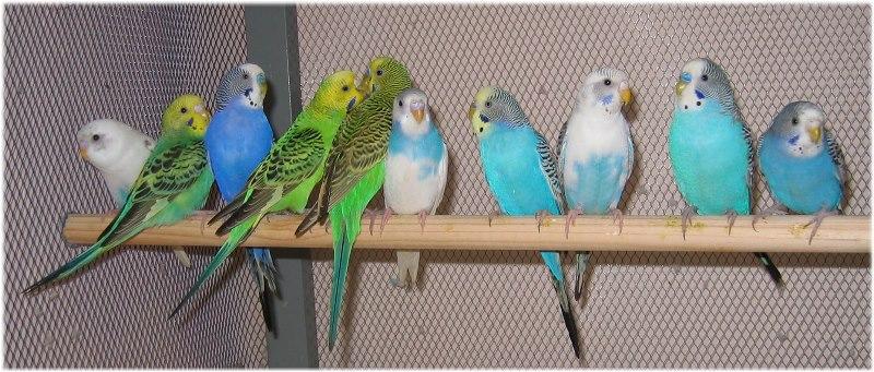 вольер с волнистыми попугаями