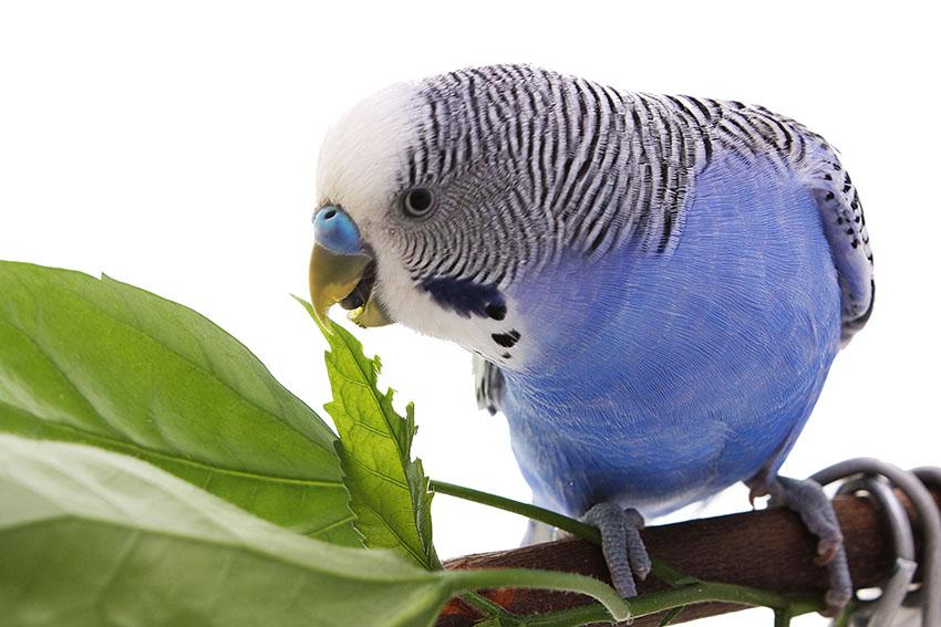 питание попугаев
