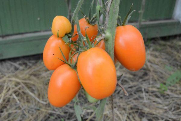 Сорт томата Чухлома