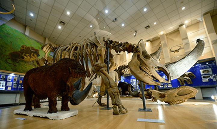 Скелет шерстистого носорога