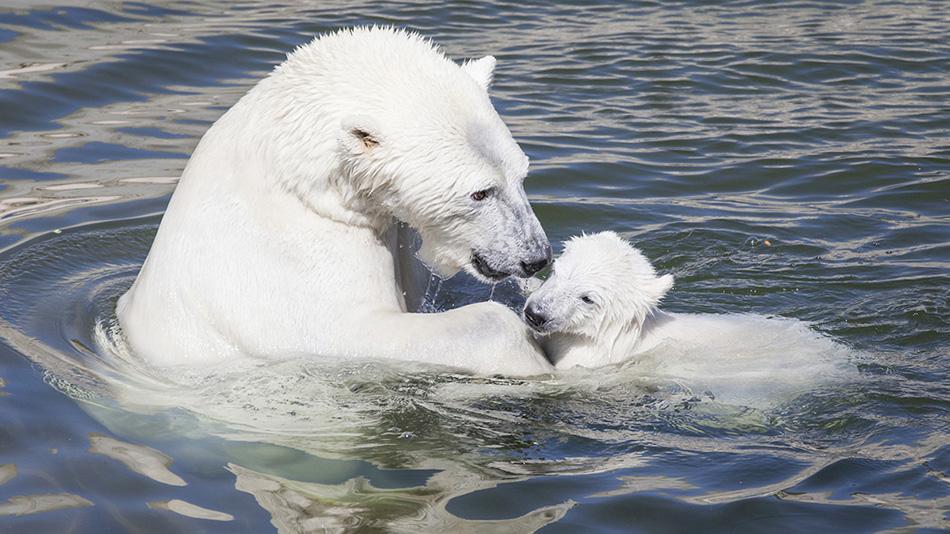 Медведица с детенышем в зоопарке Финляндии Рануа